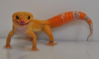 Super Hypo Tangerine Carrot Tail