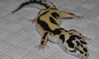 Zorro Bandit Leopard Geckos