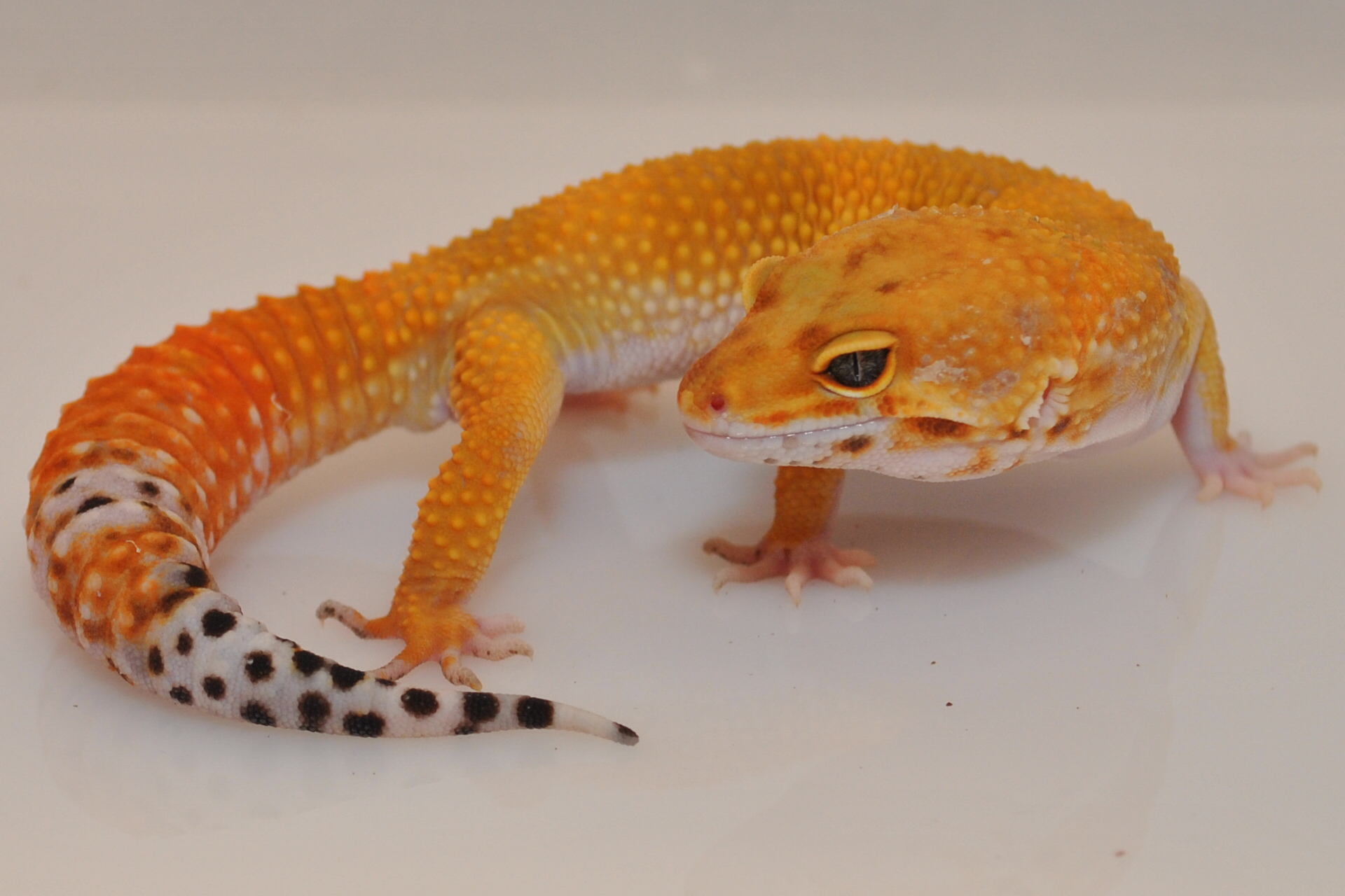 hypo tangerine leopard gecko