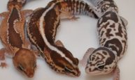 African fat tail morphs
